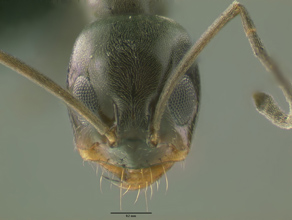 Dorymyrmex insanus head view