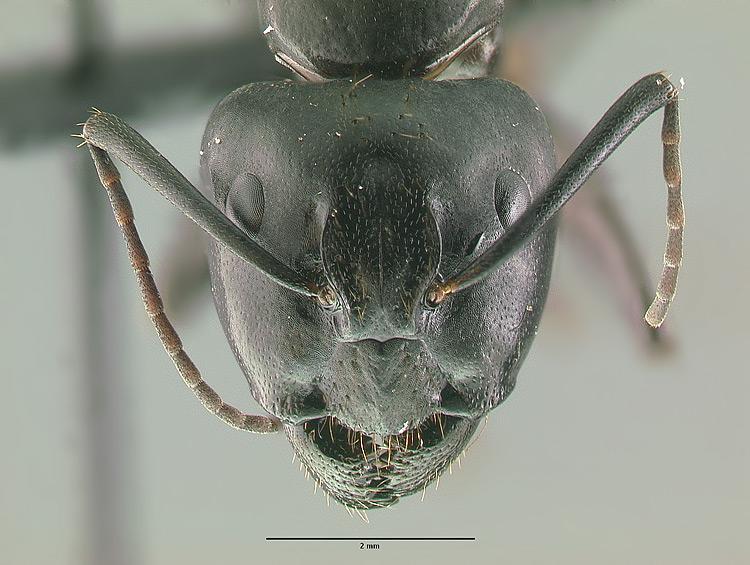 camponotus pseudo irritans
