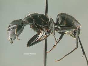 Camponotus modoc side view