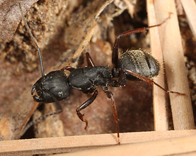 Camponotus modoc larger worker