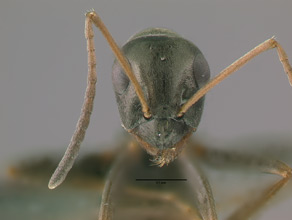 Formica fusca head view