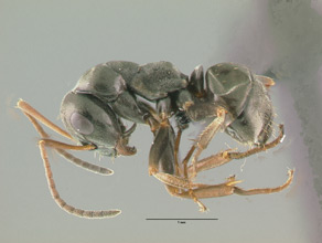 Formica fusca, side view