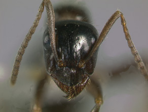 Formica lasioides head view