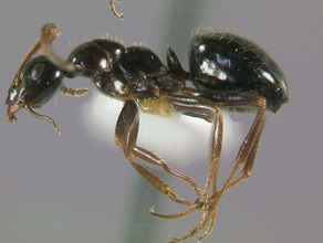 Formica lasioides, side view