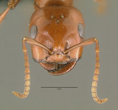 Polyergus breviceps head view