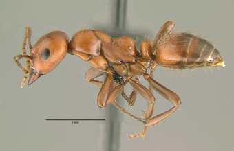 Polyergus breviceps side view