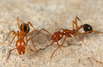 Two Aphaenogaster uinta foragers on the ground
