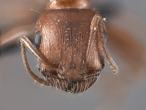 Pogonomyrmex californicus head view