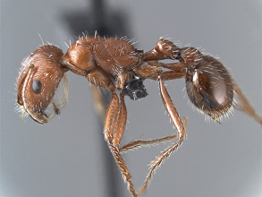 Pogonomyrmex californicus, side view