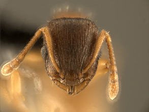 Temnothorax rugatulus head view