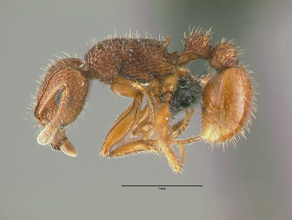 Tetramorium hispidum side view, worker